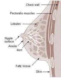 200px-Illu_breast_anatomy